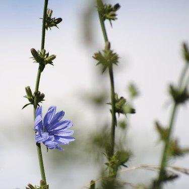 Chicory flower closeup
