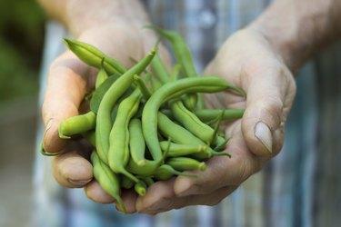 Fresh green beans from the garden.