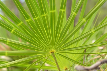 Abnormal light coloration on a palm frond