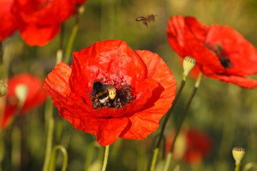 Flowering red poppies and bumblebee