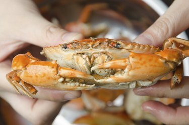 eatting seafood red crab