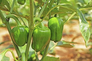 Capsicum Fruits in Plant
