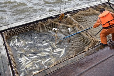 Many types of large wild fish contain high levels of mercury.