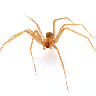 First Stages of Brown Recluse Bites