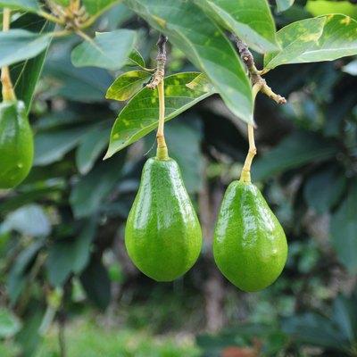 Avocado tree.