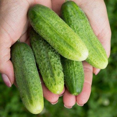cucumbers on woman hands. fresh vegetables in garden