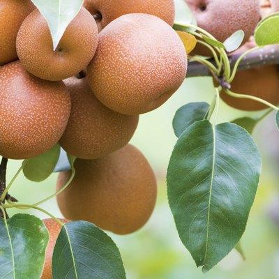 Japanese nashi pears (Pyrus Pyrifolia)