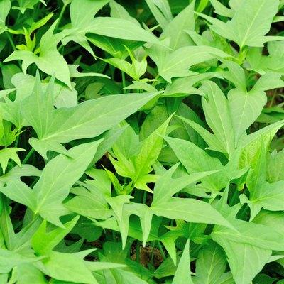 green sweet potato plants in growth