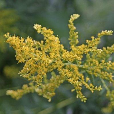 Ragweed Flowers Close Up