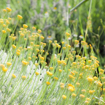 Meadow of chamomile