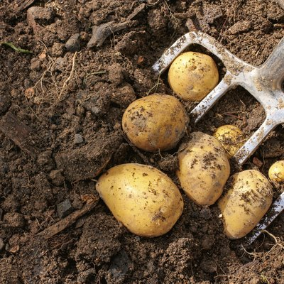 Potato harvest with bar spade
