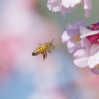 Cherry Blossom and Honeybee