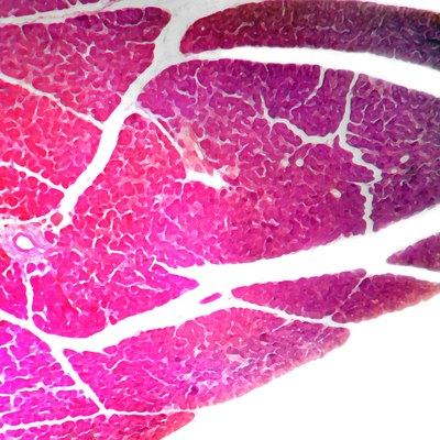 Pancreas of dog