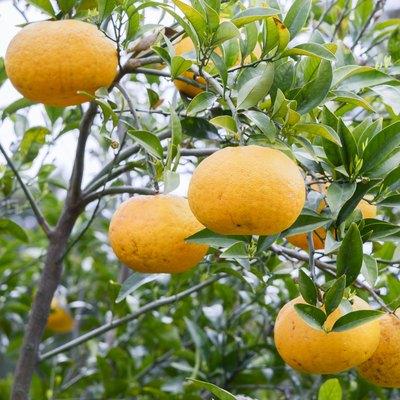 Tangerine growing on a tree
