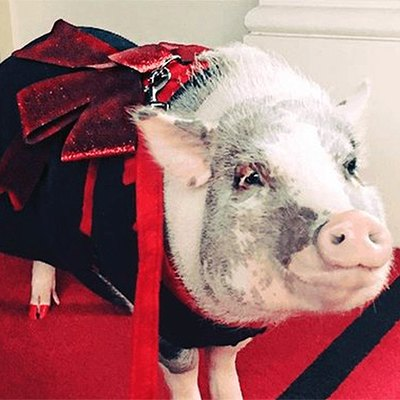 Lila the pig is dressed up and on a leash