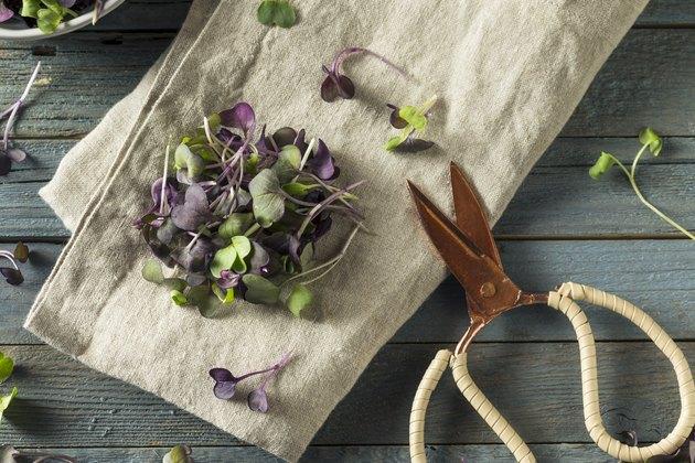 Top view of purple radish microgreens on a towel next to gardening scissors