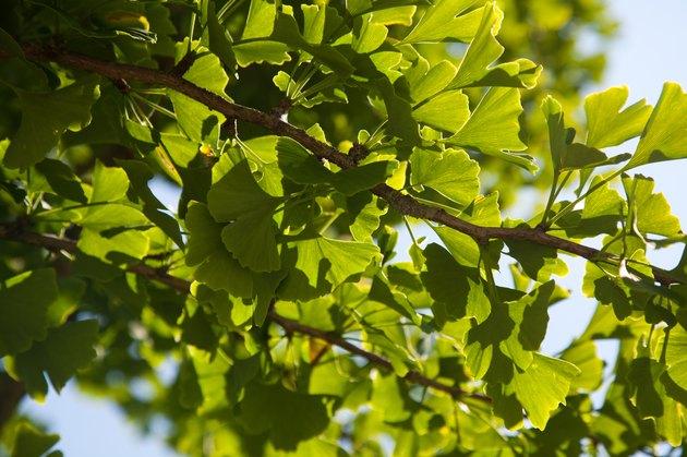 ginko tree, Ginkgo biloba
