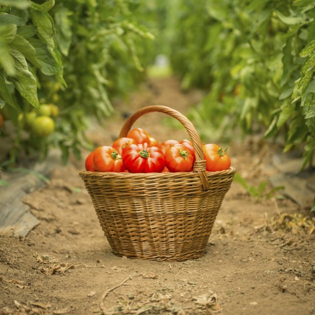 Tomatoes in Woven Basket