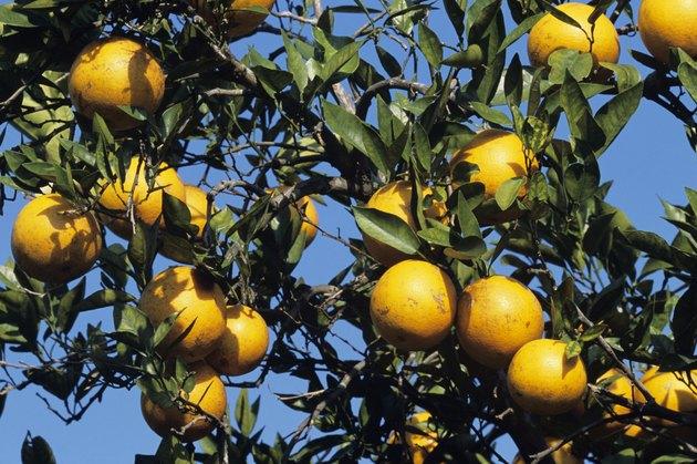 Oranges on tree, Florida, USA