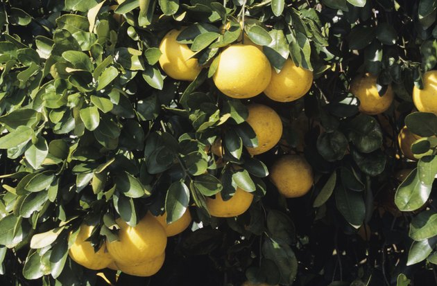 Grapefruit on tree, Florida, USA
