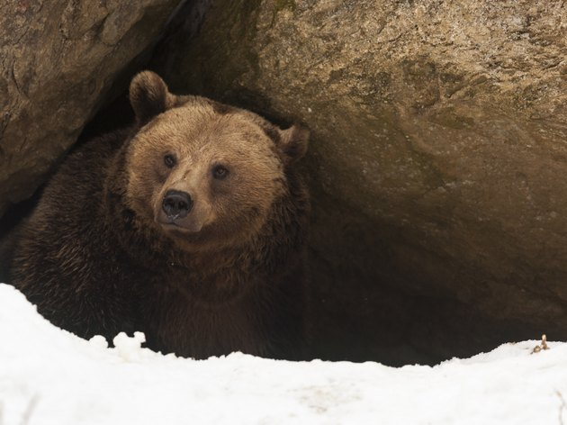 Grizzly bear  have a look out of  his cave