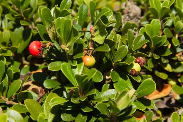 Fruit of the Bearberry Arctostaphylos uva ursi