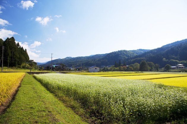 Buckwheat and rice field, Nagano Prefecture, Honshu, Japan