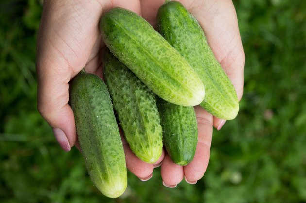 cucumbers on woman hands. fresh vegetables in garden