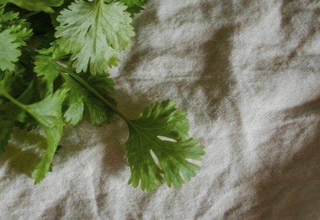 cilantro on cotton background