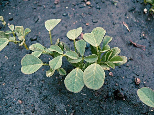 Plant of Fenugreek