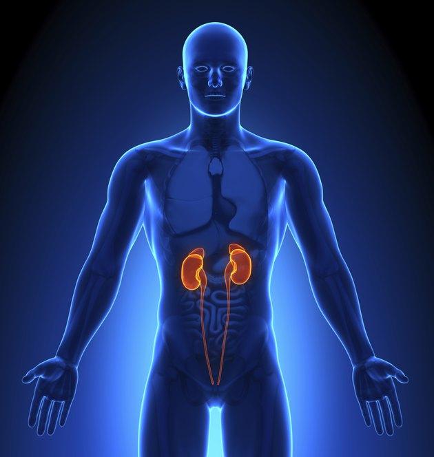 Medical Imaging - Male Organs Kidneys