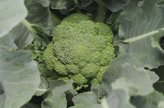 Close up of broccoli plant, Hyogo Prefecture, Honshu, Japan