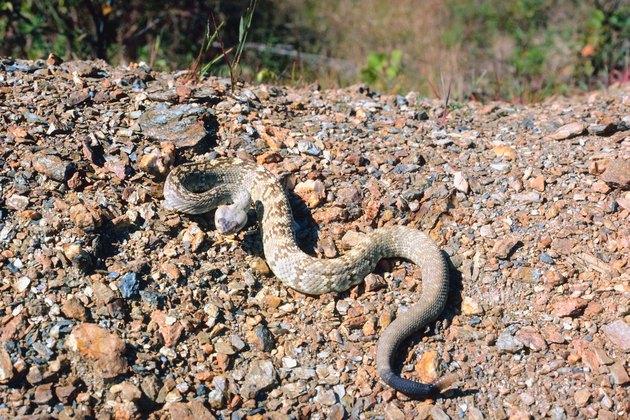 Black-tailed rattlesnake in desert