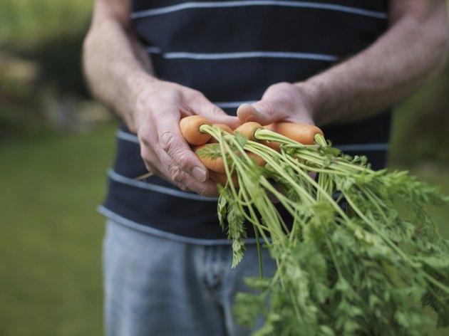Senior man holding carrots in garden, mid section