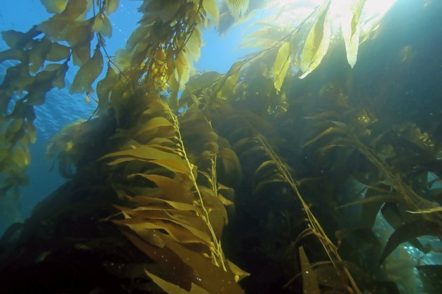Seaweed kelp forest at California reefs