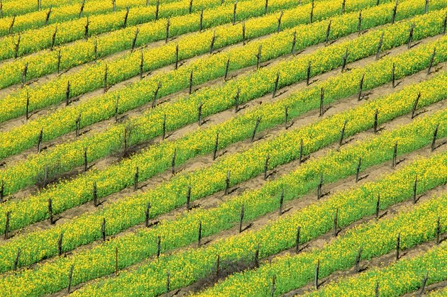 USA, California, Napa Valley, High angle view of mustard plants growing in a vineyard
