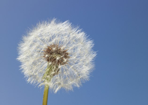 Dandelion head against clear sky, close-up