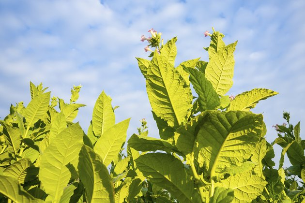 Green tobacco plants with large leaves and pink flowers.