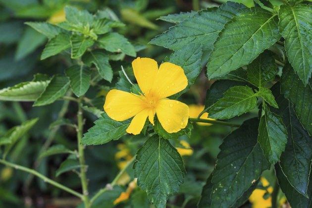 Turnera Subulata G.E. Smith Flower.