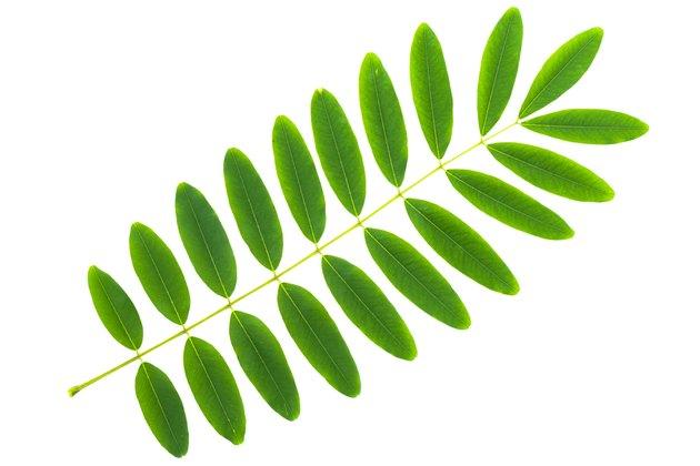 Cassia siamea leaf isolated on white background