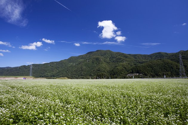 Buckwheat field, Ishikawa Prefecture, Honshu, Japan
