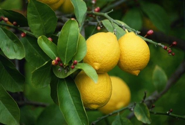 Lemons growing on a tree
