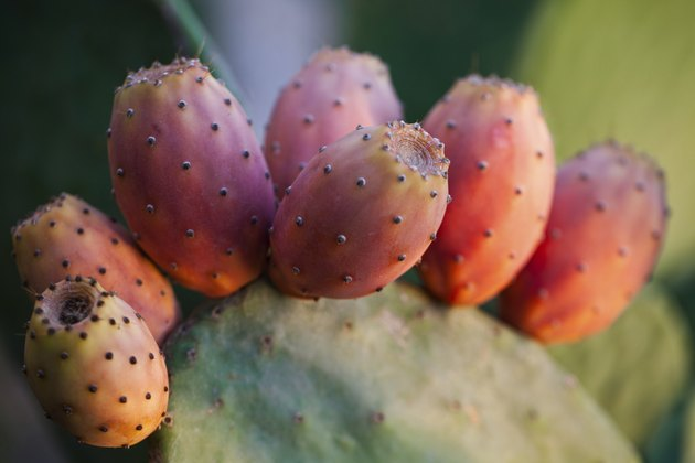 Prickly Pear Cactus with Red Fruit