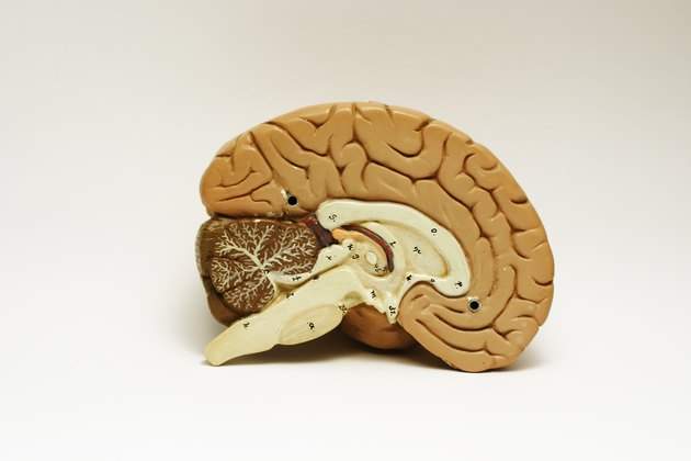 Brain Cross-sectioned.