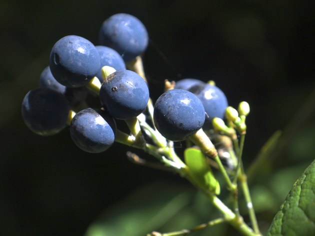 Blue Cohosh  Berries in the Morning Sun