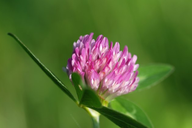 close-up of a single red clover