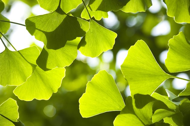 Close-up of Ginkgo leaves