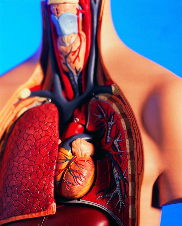 Cutaway model of human chest and neck