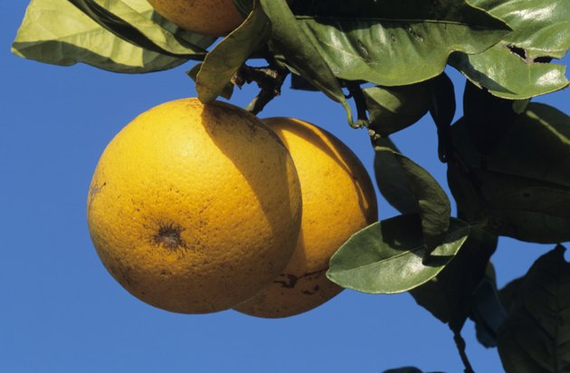 Grapefruit on tree, close-up, Florida, USA