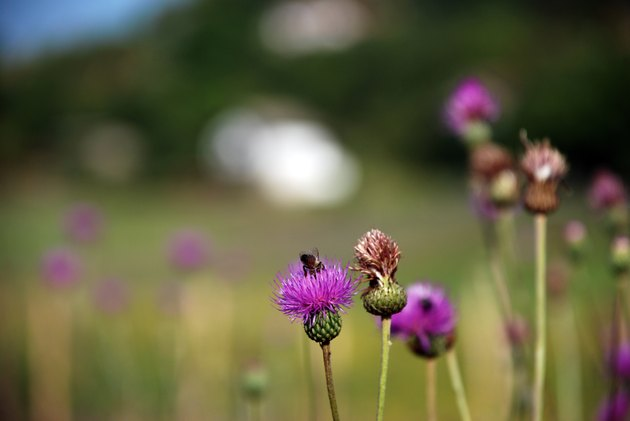 Herb Milk thistle 4